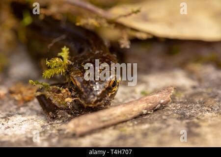 Kreative Makro Foto von Kopf auf palmate Newt mit sehr engen Fokus auf Teil des Kopfes und der Augen. - Stockfoto
