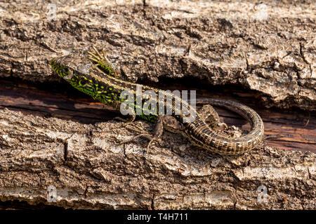 Wildlife Portrait von seltenen Zauneidechse (Lacerta agilis) Erwärmung auf gefallenen Baumstamm, seinem lebendigen Grün passende Farben anzeigen. In Poole, D - Stockfoto