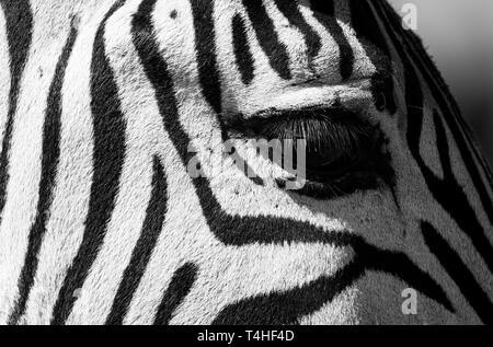 Makro Foto des Auge des jungen zebra Kalb, in Monochrom in Knysna, Garden Route, Western Cape, Südafrika fotografiert.