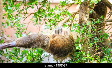 ZSL London Zoo, London, UK, 18. April 2019. Männliche faultier Leander, ein Linnaeus zwei-toed sloth, (Choloepus didactylus) entscheidet eine grosse Ausdehnung und faulenzen in der Sonne im schönen London Regent's Park site zu haben. Faultiere sind die weltweit langsamsten Säugetier, und rund 15 Stunden am Tag schlafen, also ein wenig dehnen ist groß Aktivität in Trägheit. Credit: Imageplotter/Alamy leben Nachrichten - Stockfoto