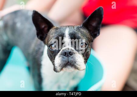 Der Boston Terrier Hund nimmt ein Bad an einem heißen Sommertag - Stockfoto