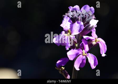 Nahaufnahme eines erysimum scoparium Blume in voller Blüte - Stockfoto