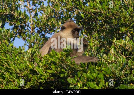 Getuftete Grau Langur. Semnopithecus priam. Einzelne Erwachsene im Baum. Sri Lanka. - Stockfoto