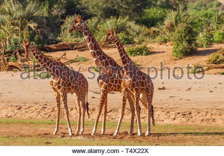 Netzgiraffen Giraffa Camelopardalis reticulata Gruppe drei Line up Seitenansicht Tanz sonnigen Tag Samburu finden Kenia Afrika Safari gefährdet - Stockfoto
