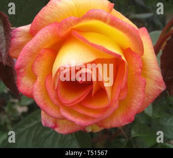 Diese Nahaufnahme zeigt die Blütenblätter einer schönen gelben und rosa Rosenblüten Falten vom Zentrum des beliebten Ziergarten Blume. Die Rose ist ein blühender Strauch und erhält seinen Namen von dem lateinischen Wort Rosa. Rosen gehören zur Familie der Rosaceae genannt und gelten als die beliebtesten Blumen in der Welt. Mit mehr als 150 Arten von Rosen und Tausende von Hybriden, die Rosen können in fast jeder Farbe und Dutzende von verschiedenen Formen gefunden werden. - Stockfoto