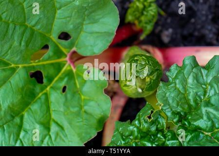 Rhabarber Krone Blättern aus der Lampe, von oben nach unten Anzeigen, Anzeigen giftige Blätter und rote Stiele. - Stockfoto
