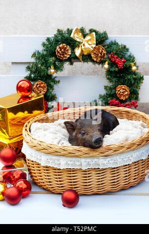 Eine schwarze Schweine der Vietnamesischen Rasse sitzt in einem Weidenkorb in der Nähe der Weihnachtsdekoration. Konzept des Neuen Jahres. - Stockfoto