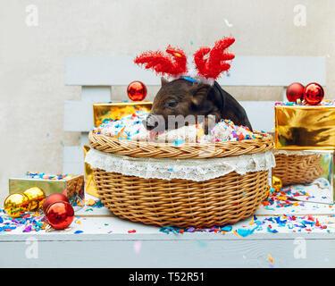 Eine schwarze Schweine der Vietnamesischen Rasse sitzt in einem Weidenkorb mit Konfetti in der Nähe der Weihnachtsdekoration. Süße kleine schwarze Ferkel mit Hörnern von Rotwild auf - Stockfoto