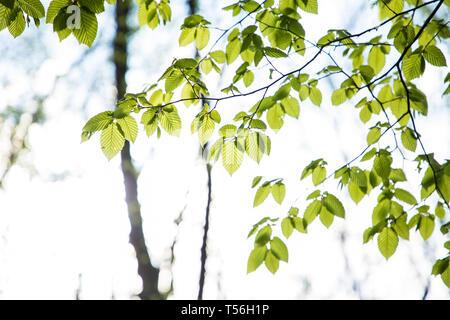 Frische grüne Blätter Zweig Blätter Bäume draußen im Park - Stockfoto