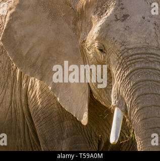 Seite beleuchtet Elefant Profil Loxodonta africana Nahaufnahme Gesicht haut details Auge ohr Tusk trunk zerknittert Textur Amboseli National Park Kenia Ostafrika - Stockfoto