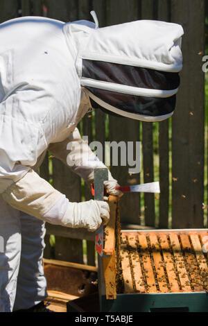 Seattle, Washington, USA. Weibliche Imker Einfügen eines Rahmens mit honigbienen zurück in den Hive abgedeckt. (MR) - Stockfoto
