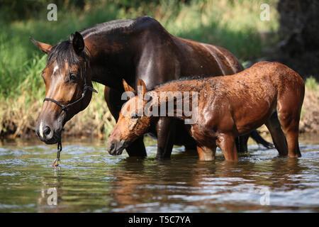 Schöne braune Stute mit Fohlen das erste Mal im Wasser - Stockfoto