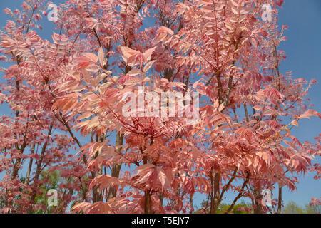 Cedrela Sinensis oder Toona Sinensis mit ihren roten Blättern - Stockfoto