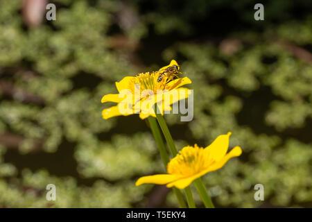 Farbe Wildlife Fotografie, single, Sumpfdotterblume (Caltha palustris) Blüte in der Blüte mit dem Fußballspieler (Helophilus pendulus) hoverfly auf Blütenblatt. Po - Stockfoto