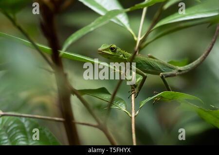 Malaysia, Borneo, Sabah, Naturpark, grüne Eidechse crested, Bronchocela cristatella