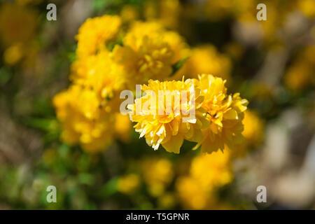 Blumen auf einem Kerria japonica Pleniflora sommergrüne Strauch - Stockfoto