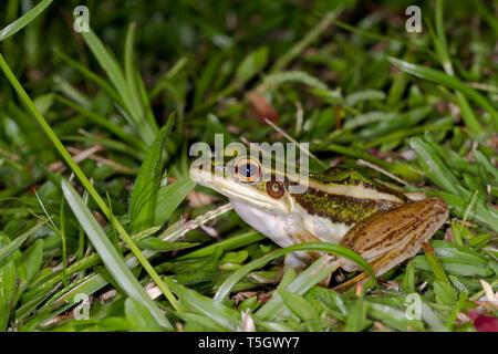Malaysia, Borneo, Sabah, Naturpark, gemeinsame Green frog, Hylarana erythraea - Stockfoto