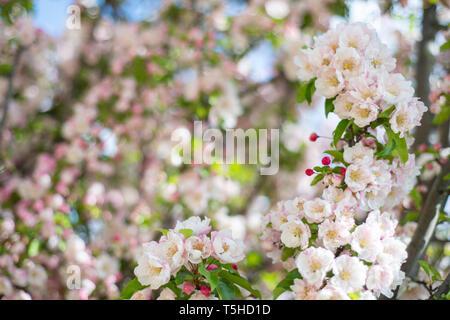 Hanami - Kirschblüten - Stockfoto