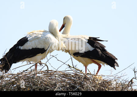 Zwei Störche im Nest auf einem Baum - Stockfoto