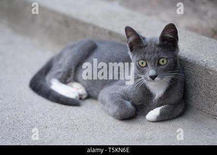Schöne Kitty mit grauen und weißen Fell entspannend, aber neugierig - Stockfoto