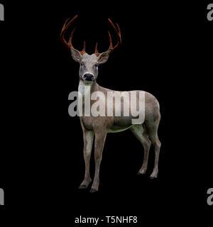 Cute white tailed deer an Kamera suchen, auf schwarzem Hintergrund - Stockfoto