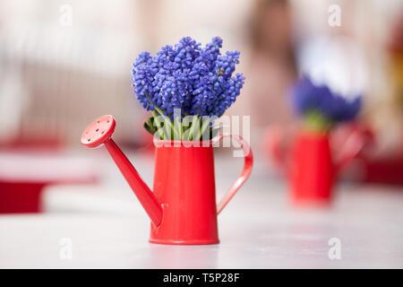 Schöne Bündel muscari oder traubenhyazinthen in einem kleinen roten Gießkanne. Nahaufnahme von einem blauen muscari Blume