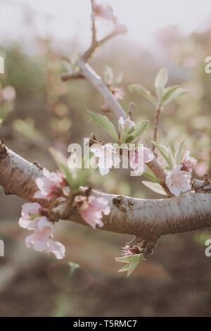 Blossom Mandelblüte im Frühjahr orchard Nahaufnahme. Flache Tiefenschärfe - Stockfoto