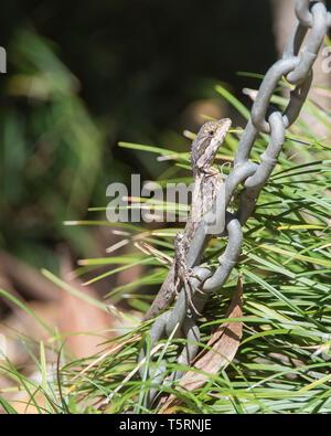 Wasser Drache klettern Kette mit Anlage Hintergrund im Außenbereich Garten im tropischen Darwin, Australien - Stockfoto