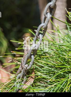 Wasser Drache auf Kette im Außenbereich Garten im tropischen Darwin, Australien - Stockfoto