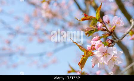 Frühjahr Blüte von Sakura. Hintergrund für eine festliche Hochzeit Grußkarte und einladung hochzeit. - Stockfoto