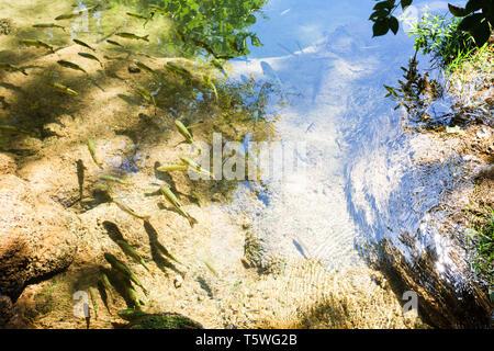 Krka, Sibenik, Kroatien, Europa - Forellen schwimmen langsam genießen die warme Sonne - Stockfoto