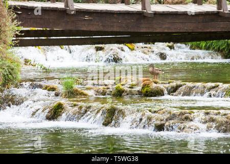 Krka, Sibenik, Kroatien, Europa - eine Ente auf einem Stein mit einigen Fluss Kaskaden - Stockfoto