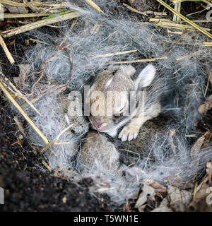 Baby Bunny, Ost Cottontail in einem Nest, Manitoba, Kanada. - Stockfoto