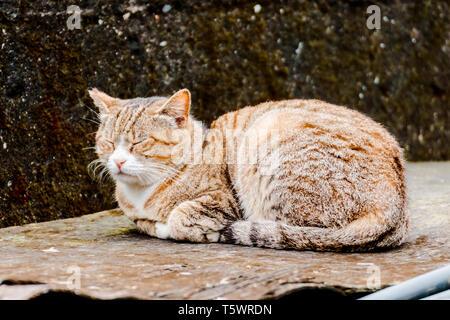 Taipei, Taiwan: Nahaufnahme von Licht braune Katze schlafen auf einem Rost Blech an Houtong Cat Dorf in Ruifang - Stockfoto