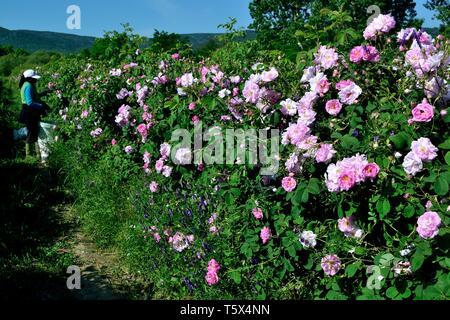 Zigeuner Ernte Rosen - Rose Festival in Kasanlak. Provinz von Stara Zagora BULGARIEN - Stockfoto