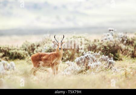 Nahaufnahme eines Bohor Riedböcke in Gaysay Grasland, Äthiopien. - Stockfoto