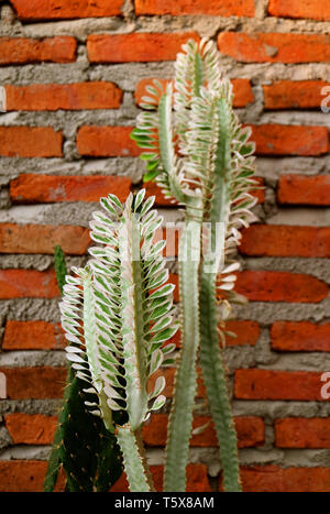 Vertikale Bild von Kakteen gegen Mauer - Stockfoto