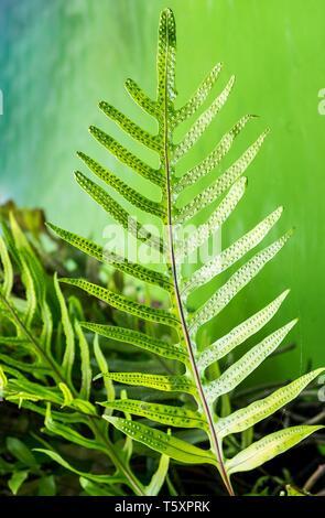 Farn Pflanze, Maile-Scented, Pflanze grün Blatt wunderlichen Muster Auge blister rauh im Becken punktiert - Stockfoto