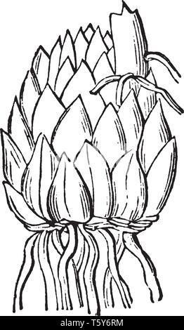 Ein Bild, schuppigen Glühlampe mit einer Lilie. Lily flower sehr auffällig sind und es meist im Garten gefunden, vintage Strichzeichnung oder Gravur illustratio - Stockfoto