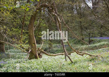 Bärlauch in der Blüte im Waldgebiet - Stockfoto