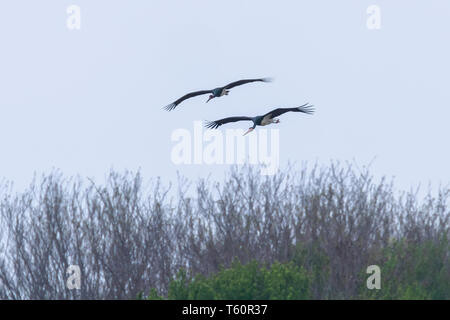 Schwarzer Storch im Flug Frühling Migration (Ciconia nigra) Paar - Stockfoto