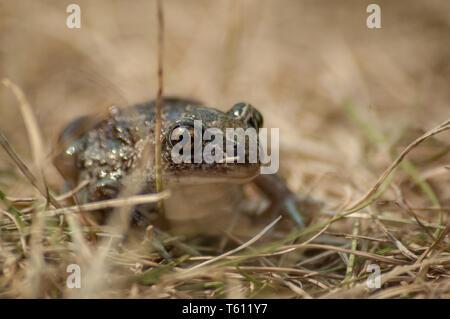 Eine kleine Knoblauch Kröte sitzt im Gras und schaut in die Kamera - Stockfoto