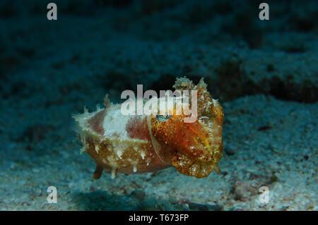 Nadel Tintenfische (Sepia aculeata (Lat)) wird mit wechselnden Farben, Panglao, Philippinen - Stockfoto