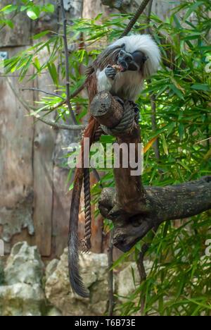 Ein junger Affe Der Tamarín Rasse, mit seinen dicken weißen Haar, ist Essen - Stockfoto
