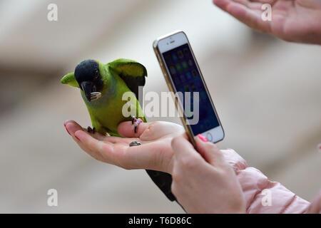 Porträt einer Person, die ein Foto von einem nanday parakeet (aratinga nenday) samen Essen aus einer Hand Personen - Stockfoto