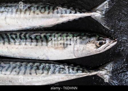 Hohen Winkel in der Nähe von drei frische Makrele fischen. - Stockfoto