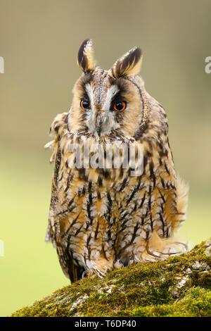 Eine Nahaufnahme Porträt einer langen Eared Owl (Asio otus). In Welshpool, South Wales, Großbritannien - Stockfoto