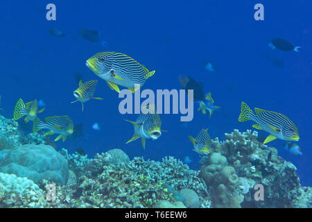 Yellowbanded oder diagonal gestreifte Süßlippen (Plectorhinchus lineatus) und orientalische sl. (Plectorhinchus vittatus) Schwimmen über Korallenriff von Bali - Stockfoto