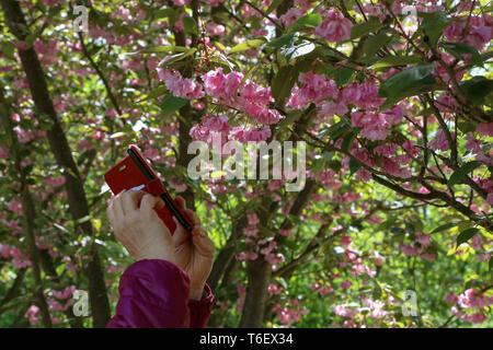 Fotografieren Japanische Kirschblüten in einem Stadtpark. - Stockfoto