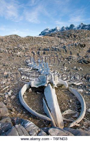 Walskelett an der Küste von Goudier Insel, Antarktis | Whale Skelett an der Küste von Goudier Insel, Antarktis - Stockfoto